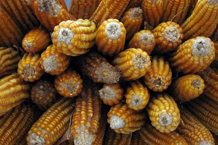 Главный компонент при производстве бурбона это кукуруза.