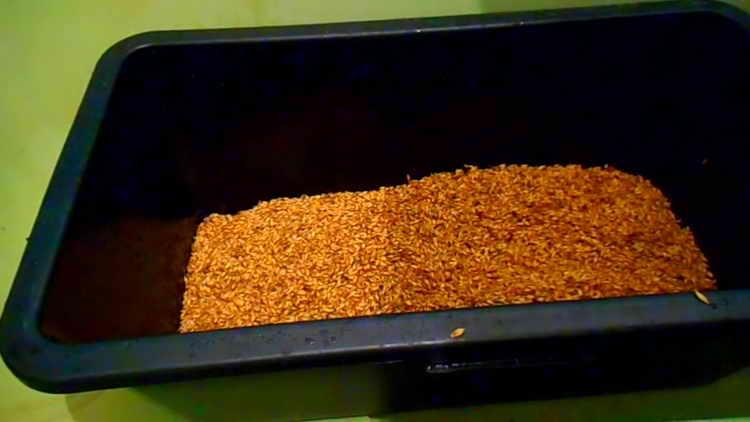 Настоявшееся продезинфицированное зерно перекладываем в поддон
