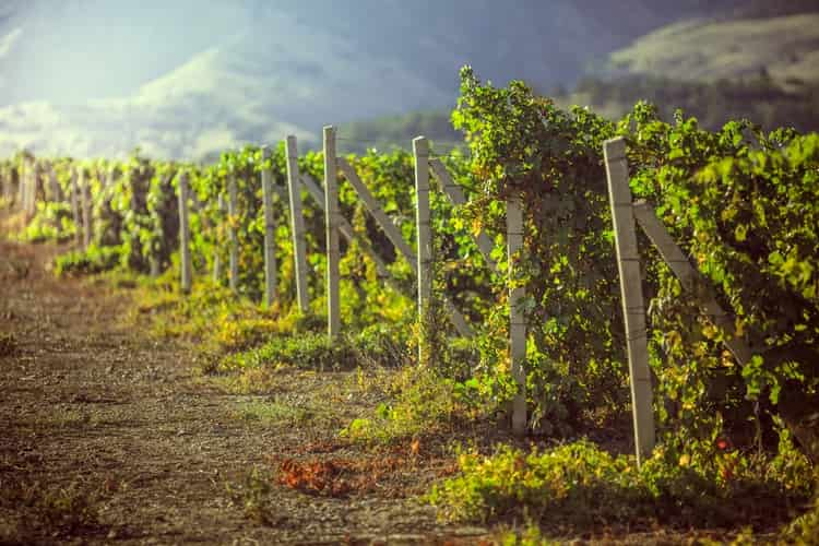 А вот виноградники компании Алеф-Виналь.