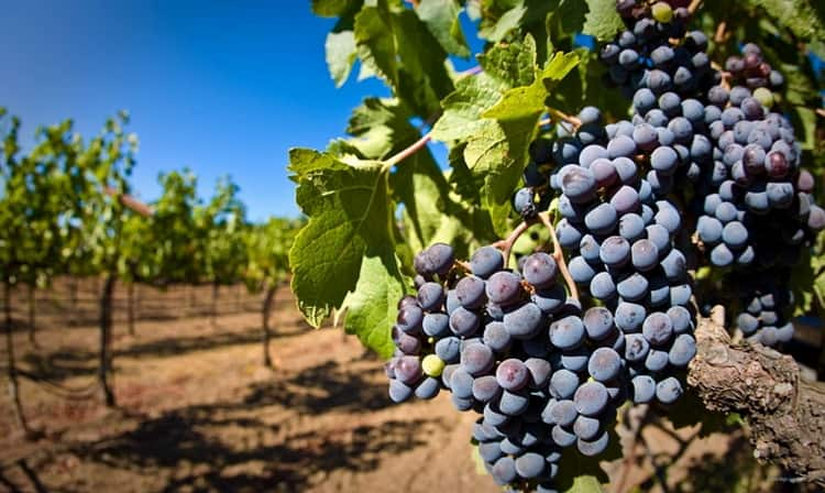 Компания-производитель обладает большими виноградниками.