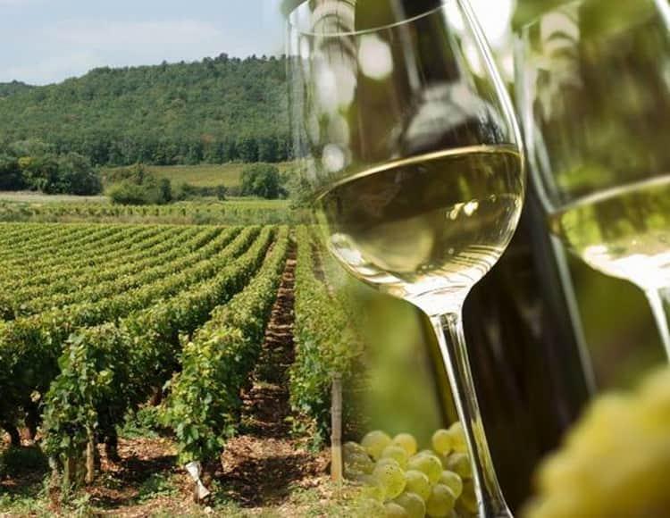 Как подавать Алиготе вино