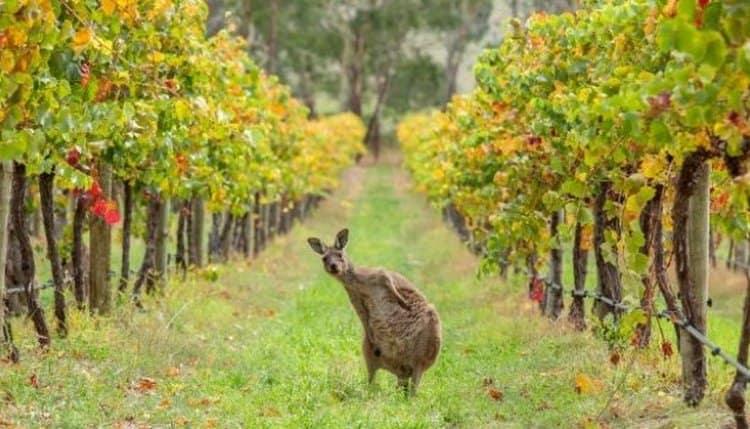 австралийское виноделие относительно молодое, но уже очень успешное.
