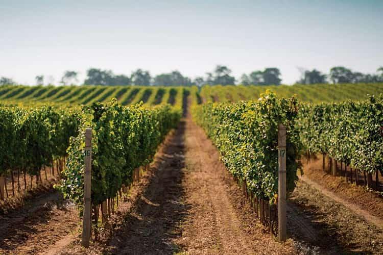 Площадь виноградников компании достигает 1000 га.