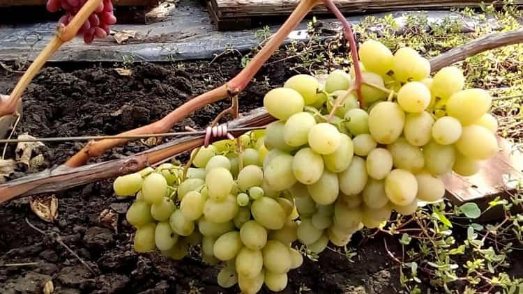 А вот и сам виноград мускат, который используют для производства такого шампанского.