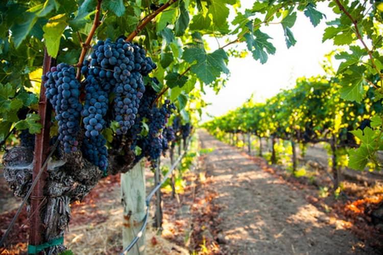 Как выращивается виноград для коньяка арарат