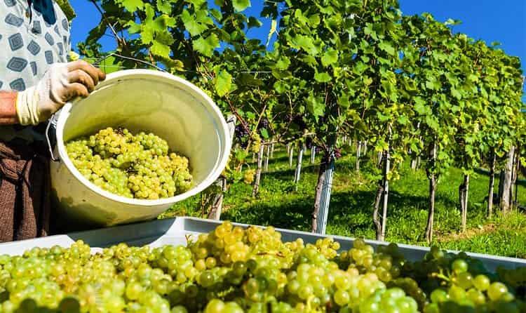 В Азербайджане выращивают и аутентичные, и европейские сорта винограда.