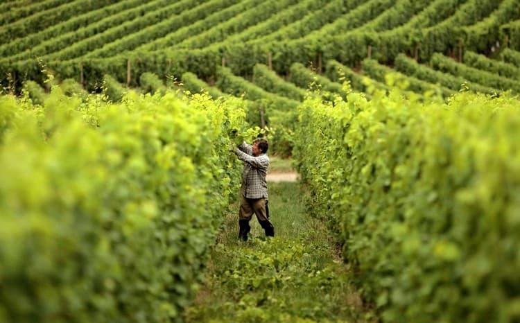 В Азербайджане виноград собирают исключительно вручную.