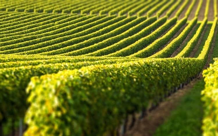 Элитным считается только тот коньяк, виноград для производства которого выращен в конкретных регионах Франции.