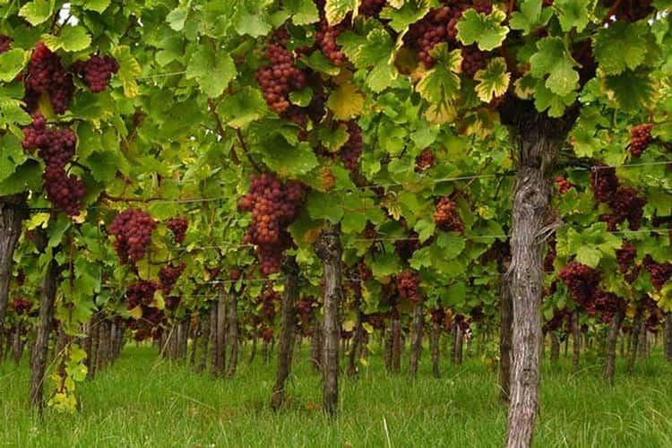 Это вино нередко называют также траминер, но на самом деле такая терминология неуместна.