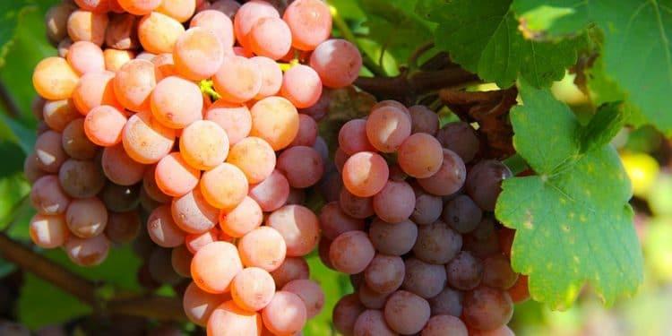 Белое вино gewurztraminer производится из одноименного сорта винограда.