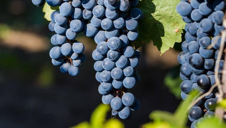 Так выглядит виноград сорта каберне совиньон.