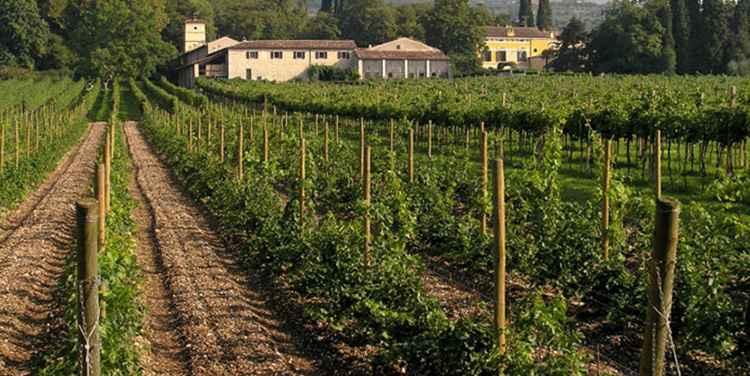 Плантации Вино Вальполичелла