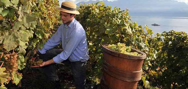 Как собирают урожай для вина