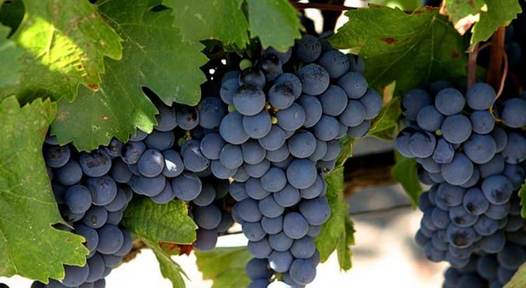 Вино Мальбек производится из одноименного сорта винограда.