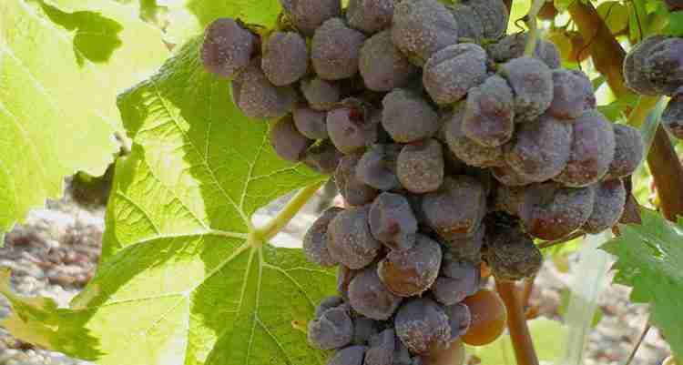 Вино Сотерн из плеснявелого винограда