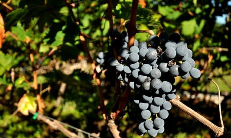 Красное вино вранац производится из одноименного сорта винограда, который собирается исключительно вручную.