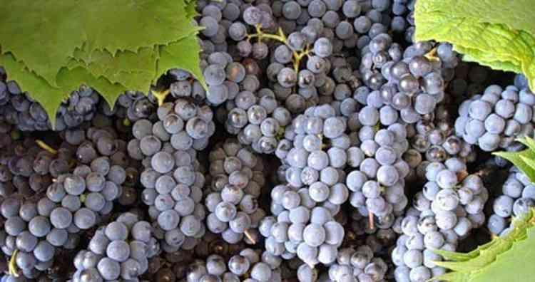 Подготавливаем ягоды для вина изабелла