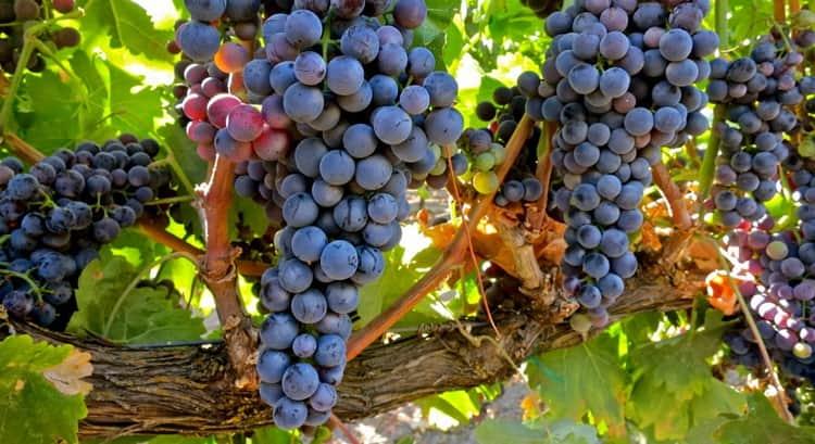 Как создавалось вино темпранильо