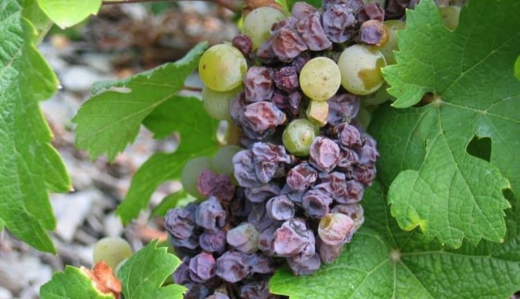 Еще одной из причин заукшивания вина становится использование подпорченного винограда.