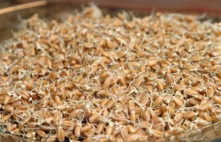 теперь вы знаете, как правильно прорастить пшеницу в домашних условиях для самогона.