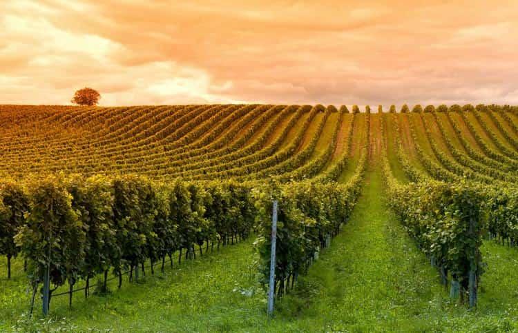 Считается, что даже на карте Молдова напоминает гроздь винограда.
