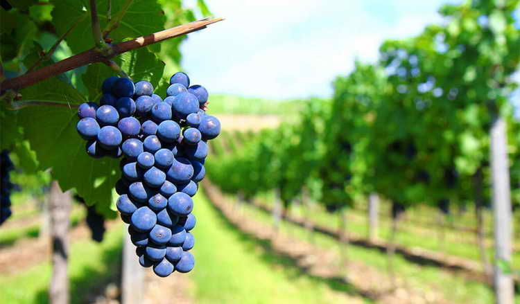 вино саперави красное сухое