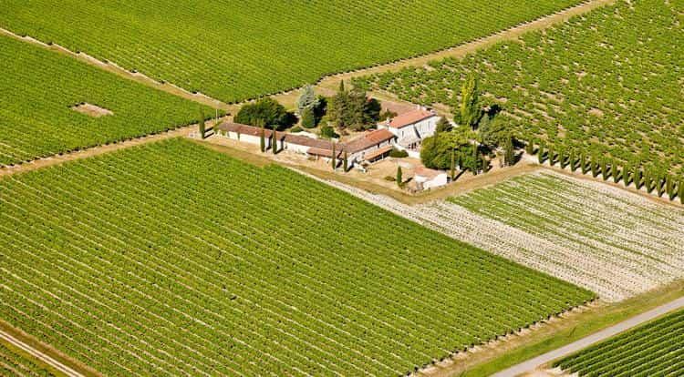 Производство коньяка начинается с выбора винограда.