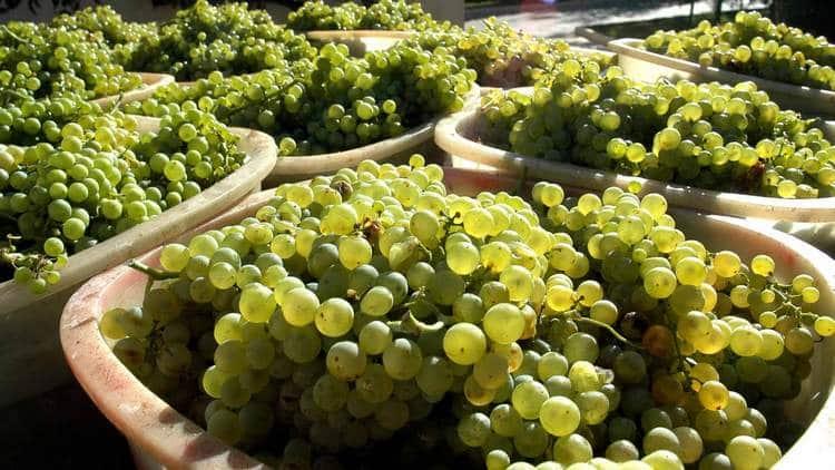 То, из чего делается коньяк, это определенные сорта винограда.