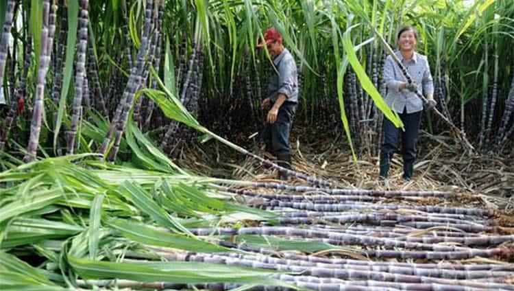 Производят ром традиционно из сахарного тростника.