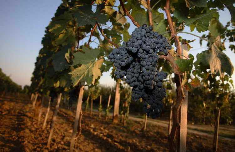 Специфика выпуска сербских вин